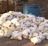 Onda de calor provoca morte de aves e aumento no preço dos ovos em Bastos (SP)