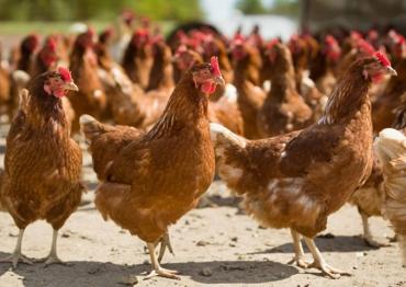 Portugal cria Associação de Ciência Avícola