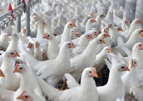 Paraná bate recorde histórico no abate de aves no primeiro quadrimestre