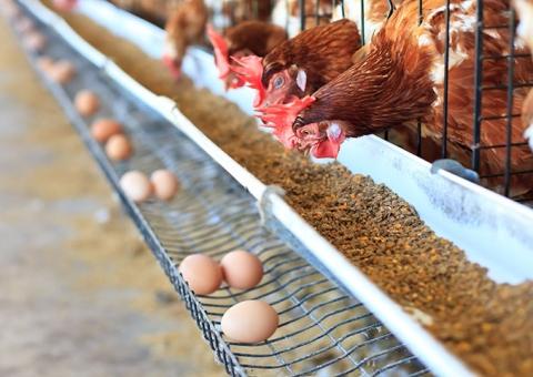 Suplementação de cálcio: essencial para a casca do ovo e a saúde óssea da ave