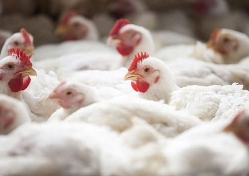 Ásia impulsiona crescimento global do mercado de aves
