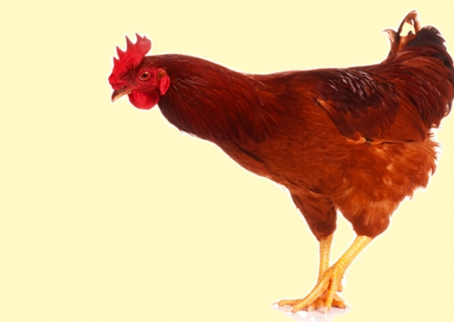 Qual a melhor vacina contra a bronquite infecciosa? Pergunte à galinha!