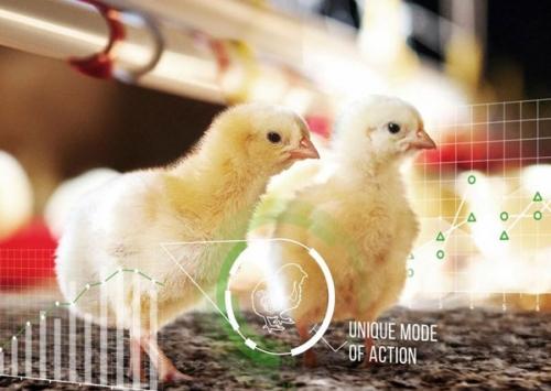 Nova enzima ajuda avicultores a produzir mais com menos ração