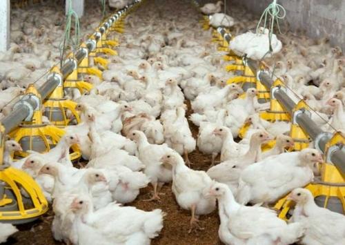 Brasil exportará carne de frango in natura para a Índia