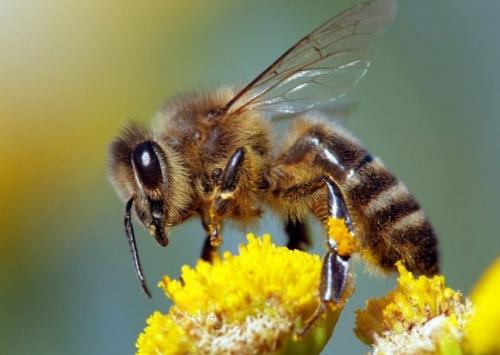 Abelhas são extremamente importantes para o agronegócio