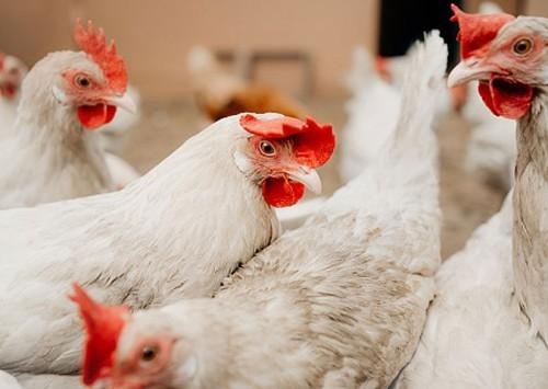 Doença de Gumboro em granjas de postura: qual o impacto na avicultura?