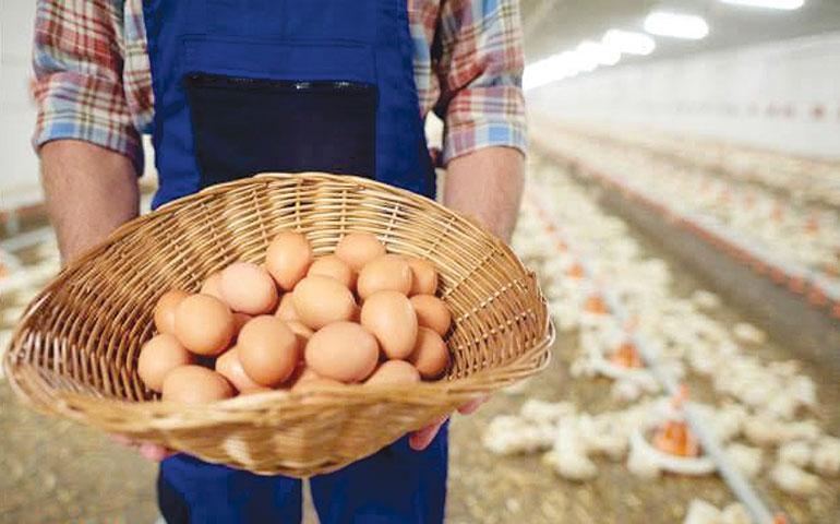 Nova fonte de ômega 3 DHA pode ser a chave para enriquecimento de ovos de forma saudável e acessível